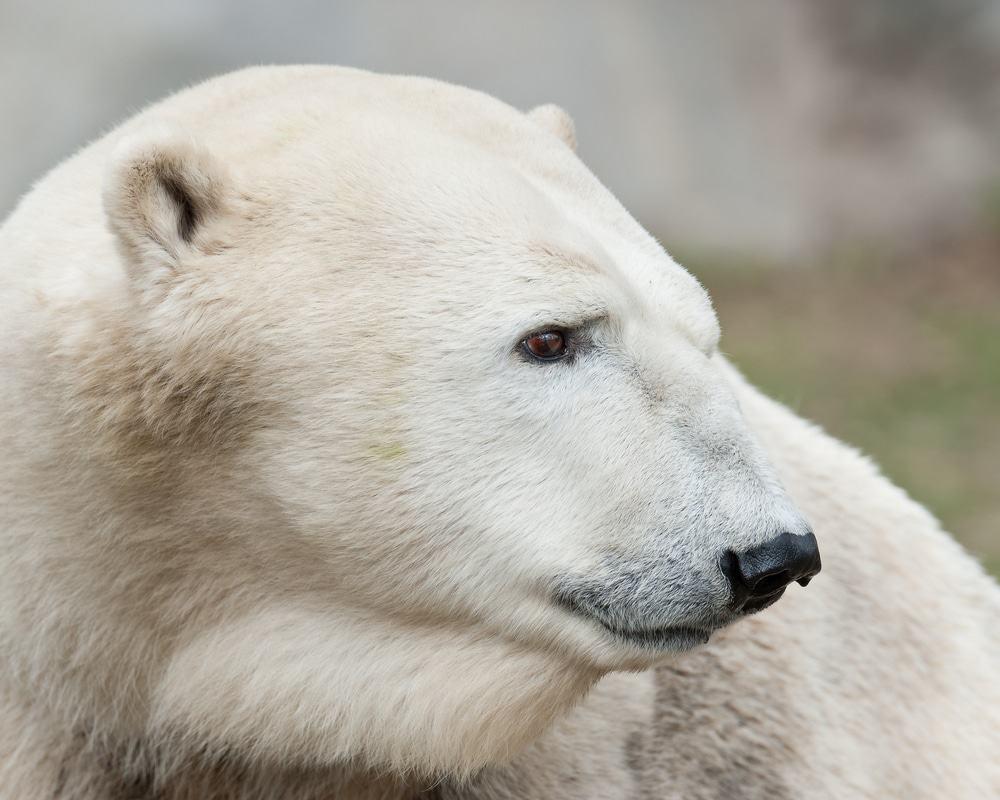 Eisbär, Alaska