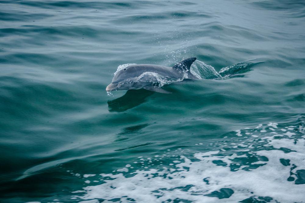 Delphin In Biscayne Bay
